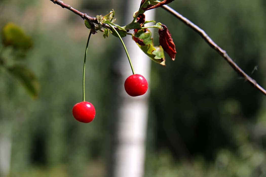 باغ گیلاس در اطراف طالقان  Cherry in Garden in Taleghan